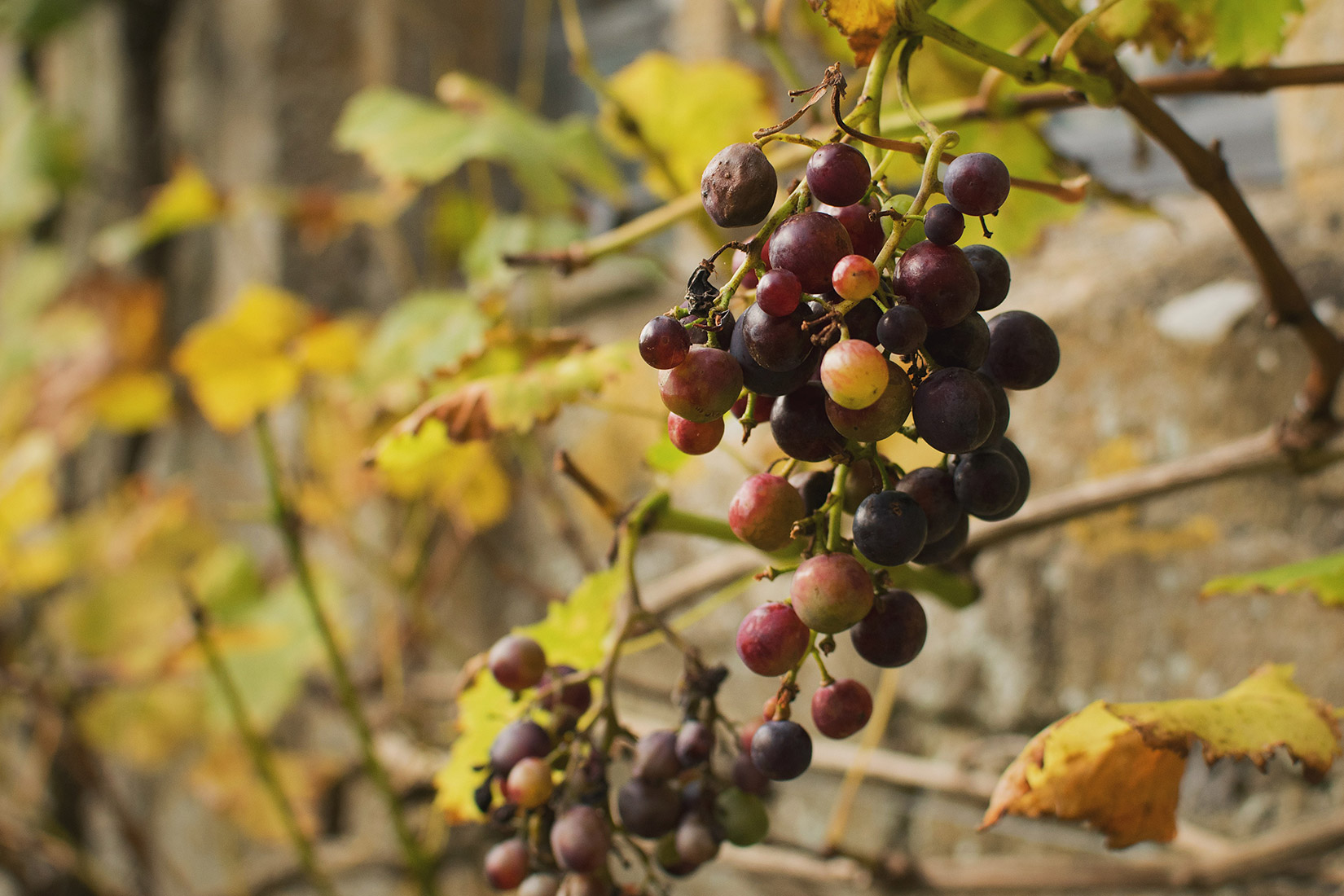 Grapes growing on a vine alongside Snowshill Manor in Autumn, National Trust