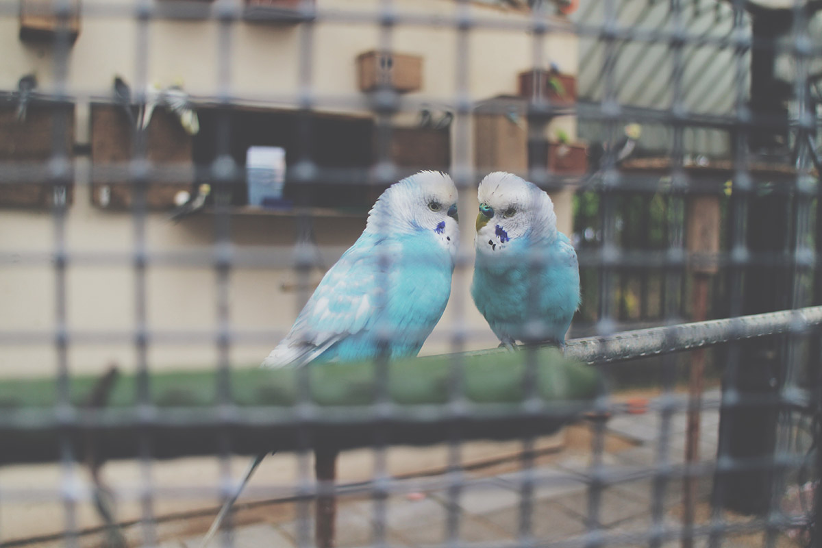 Fashion Friday #17: Blue budgies kissing in aviary at Town Gardens