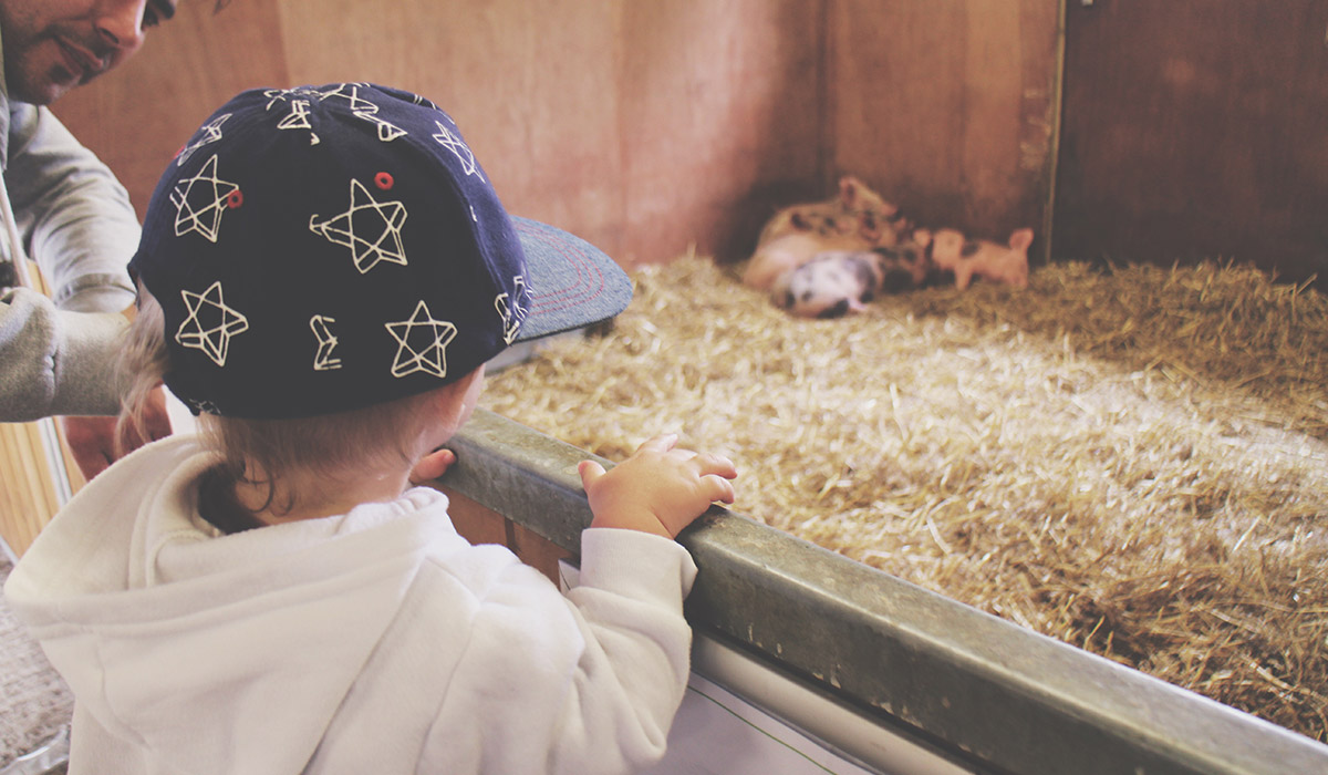 Toddlers' Day Out - Bowood House & Gardens - Toddler looking at pigs at Tractor Ted's Farm