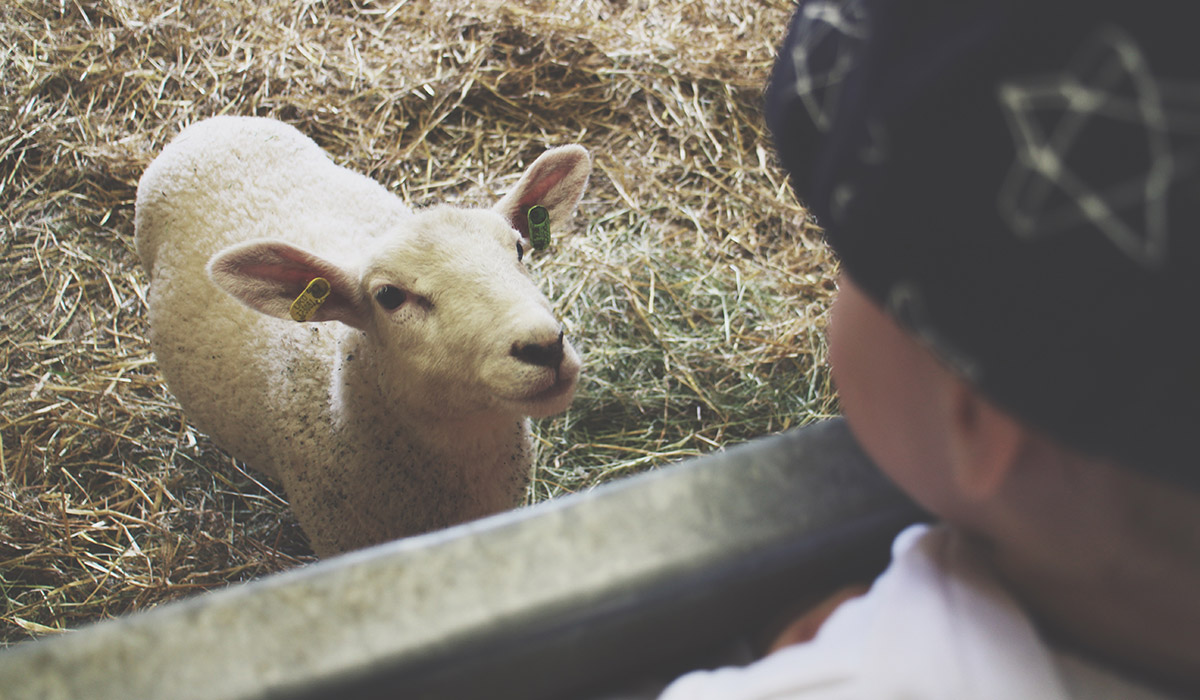 Toddlers' Day Out - Bowood House & Gardens - Toddler looking at baby lamb at Tractor Ted's Farm