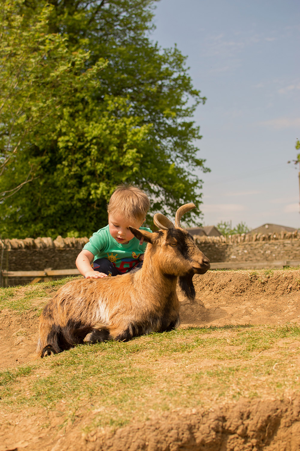 3 year old boy petting the goats in the farm wearing Frugi tractor t-shirt and bottoms at Cotswold Wildlife Park with family