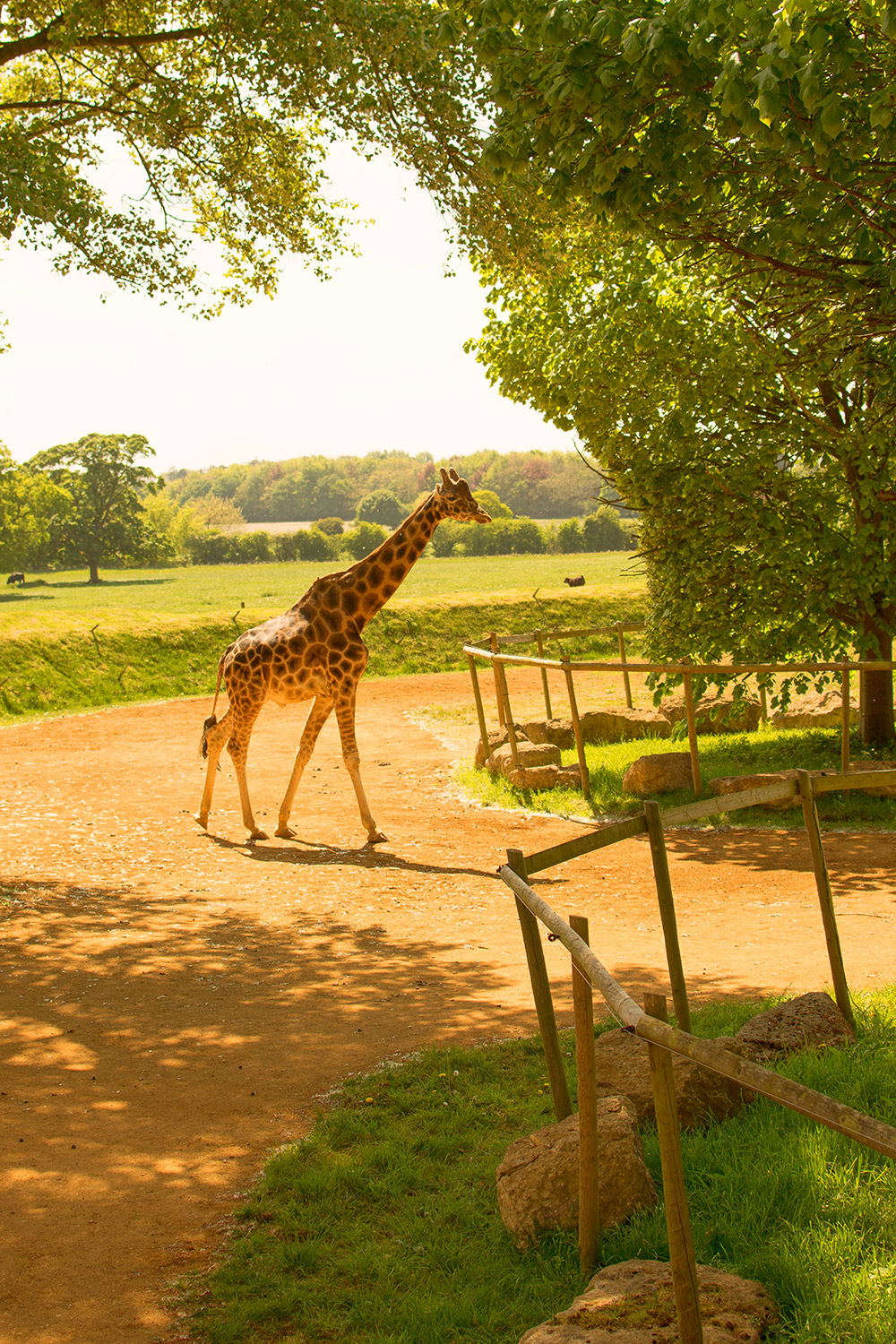 Seeing the giraffes at Cotswold Wildlife Park