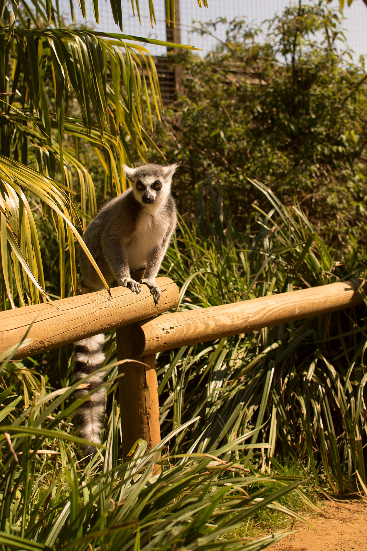 Lemurs at Cotswold Wildlife Park