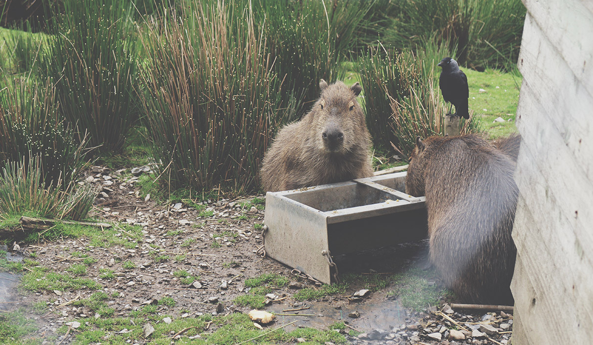 Toddlers' Day Out @ Exmoor Zoo, North Devon - Capybara feeding with others