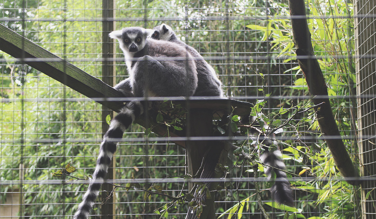 Toddlers' Day Out @ Exmoor Zoo, North Devon - Lemur staring at camera with long stripy tail
