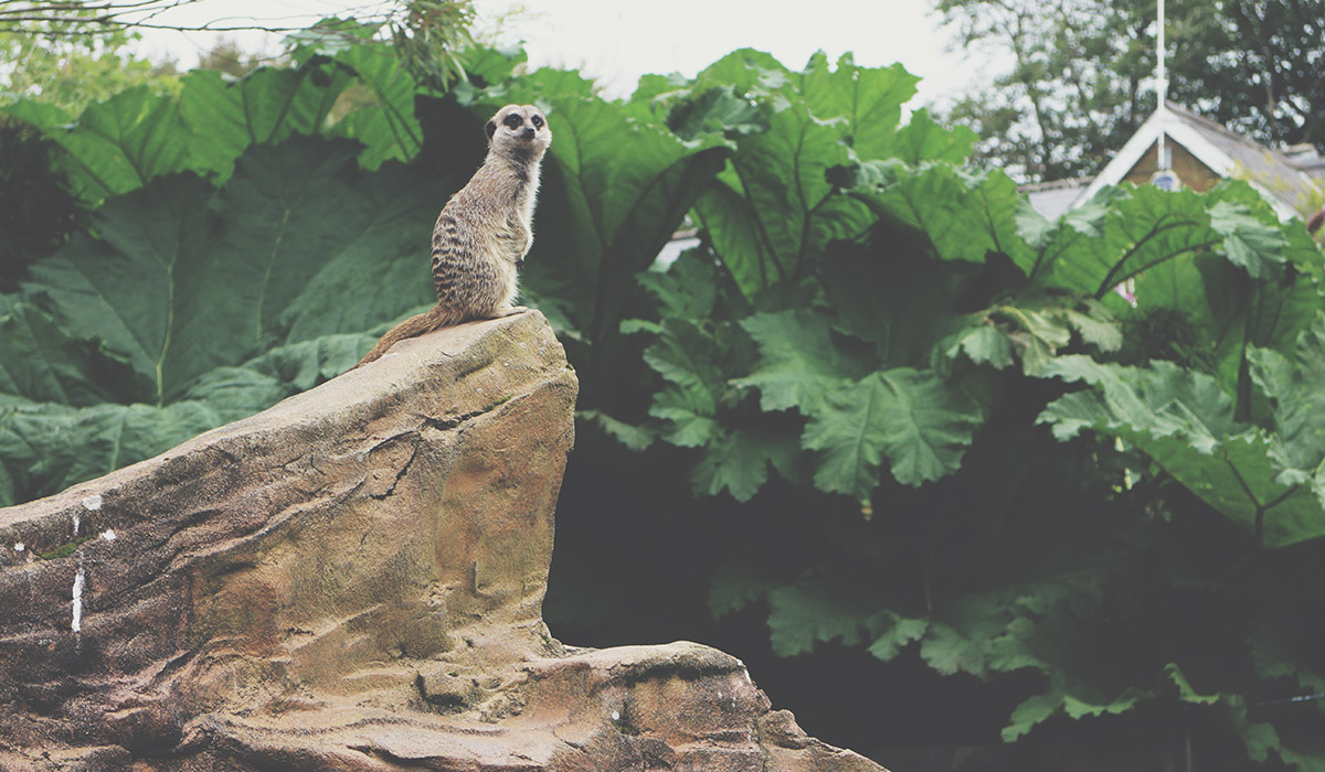 Toddlers' Day Out @ Exmoor Zoo, North Devon - Meerkat standing at top of rock
