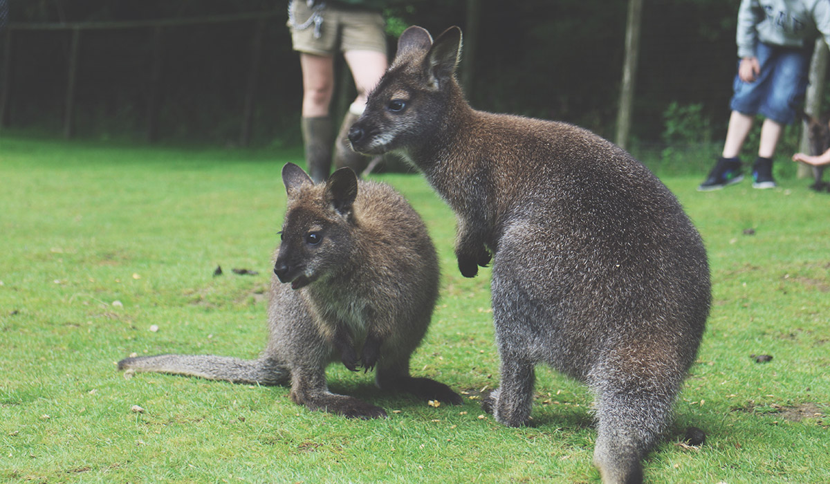 Toddlers' Day Out @ Exmoor Zoo, North Devon - Feeding the wallabies up close