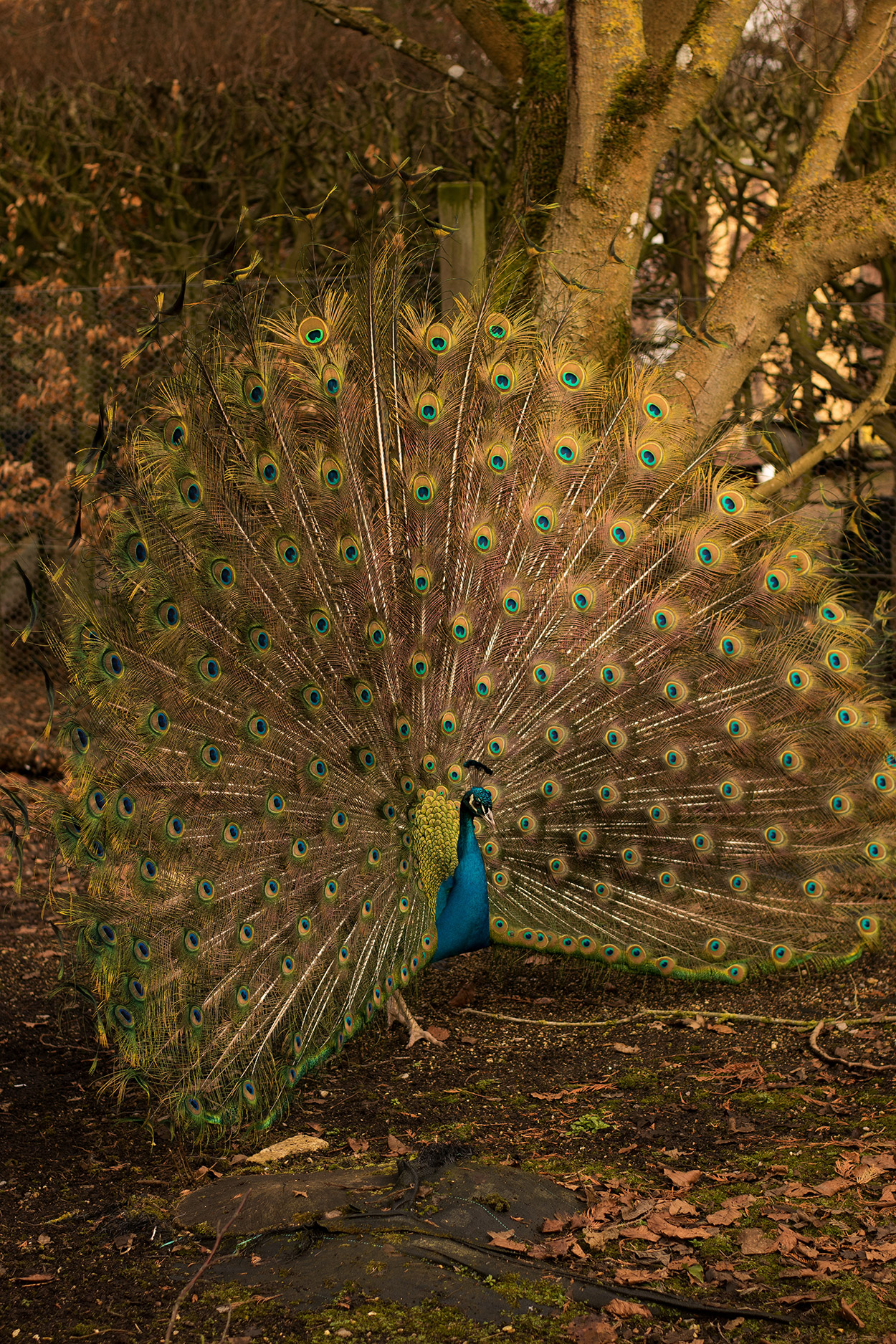 A beautiful blue male peacock spreading it's tail in the pheasantry at Sudeley Castle & Gardens, Cotswolds, Gloucestershire