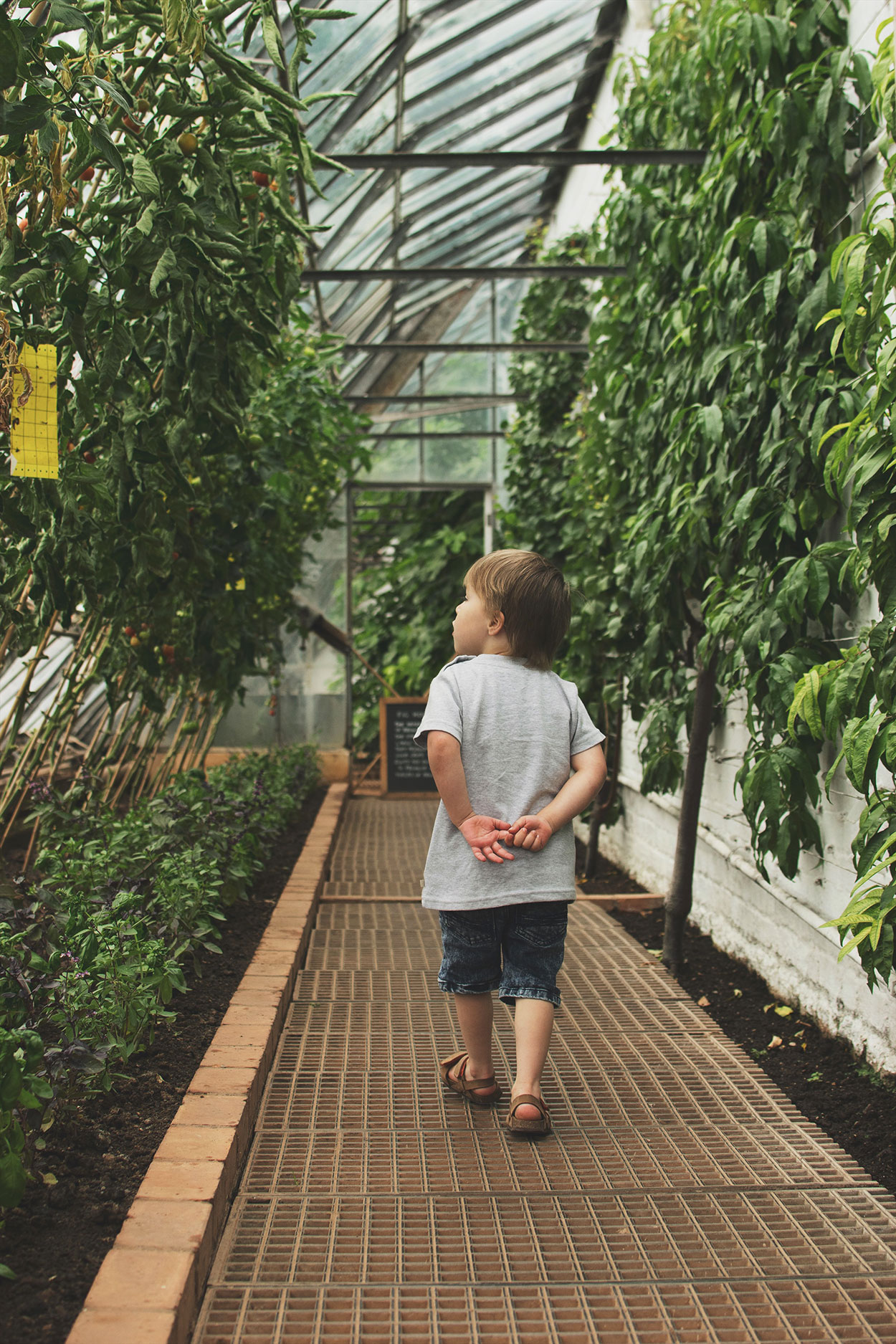 Young boy walking through the greenhouses looking at the grapevines at Tyntesfield Estate, Hampshire, National Trust