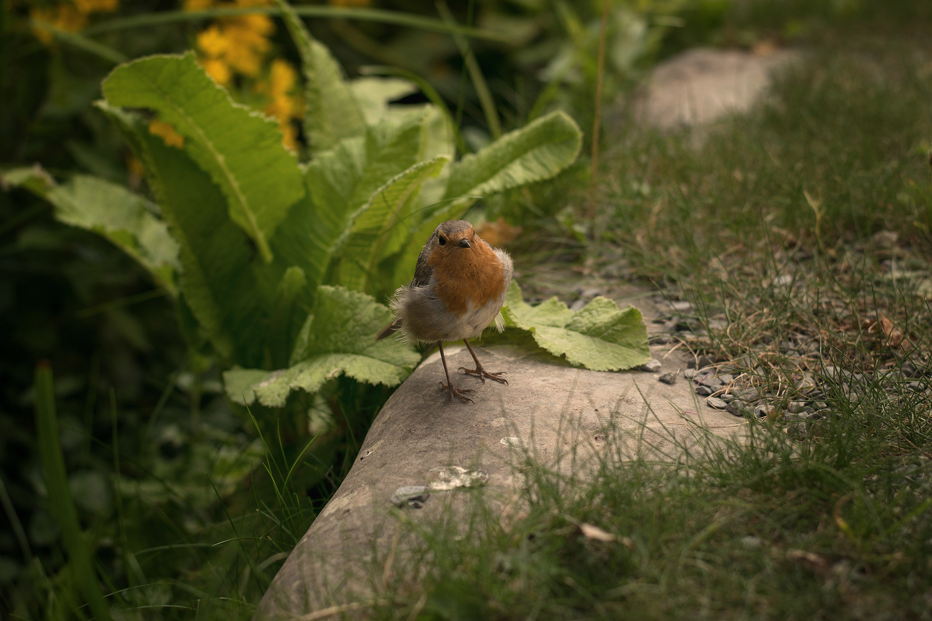 Friendly robin amongst the flowers at Colby Woodland Gardens, National Trust