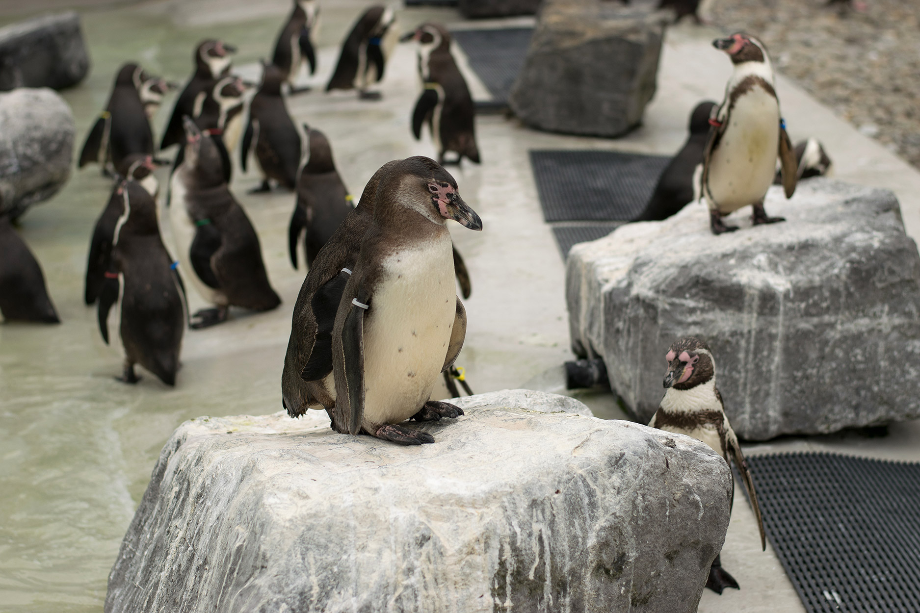 Visiting the penguins at Folly Farm, Wales