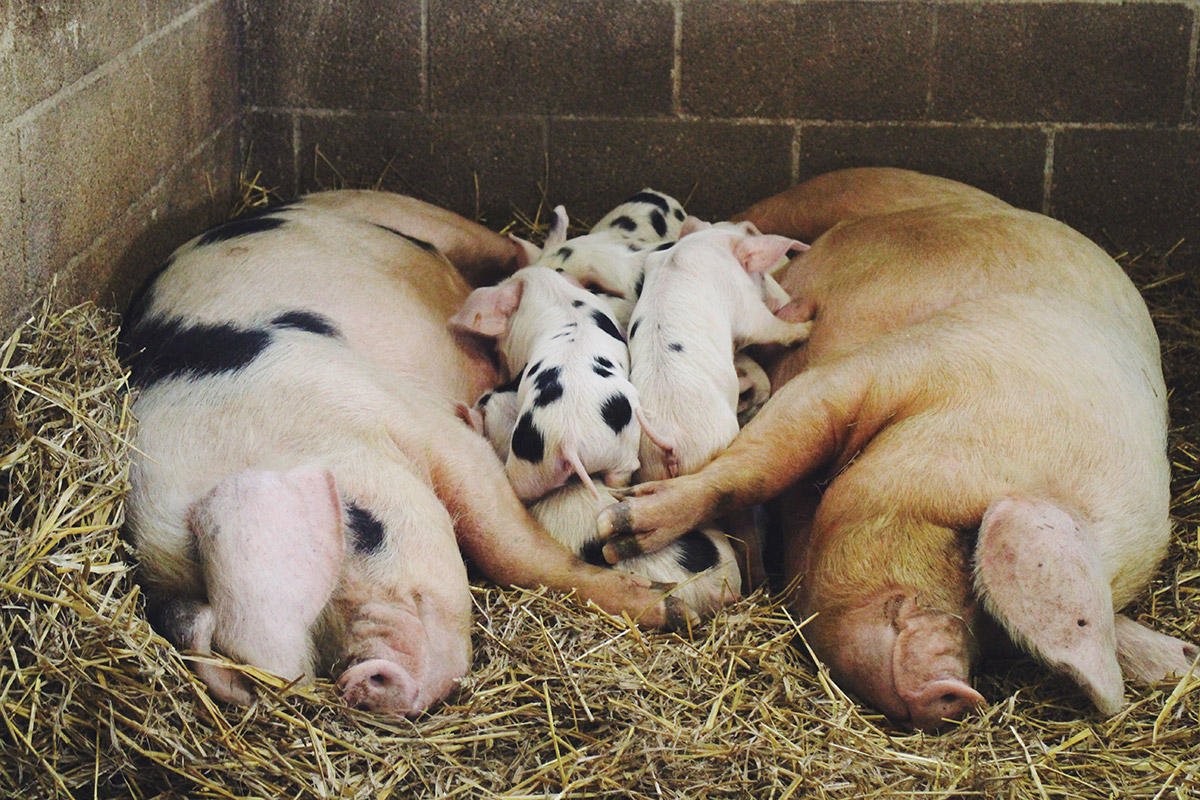 Pigs with baby piglets at Roves Farm, Swindon