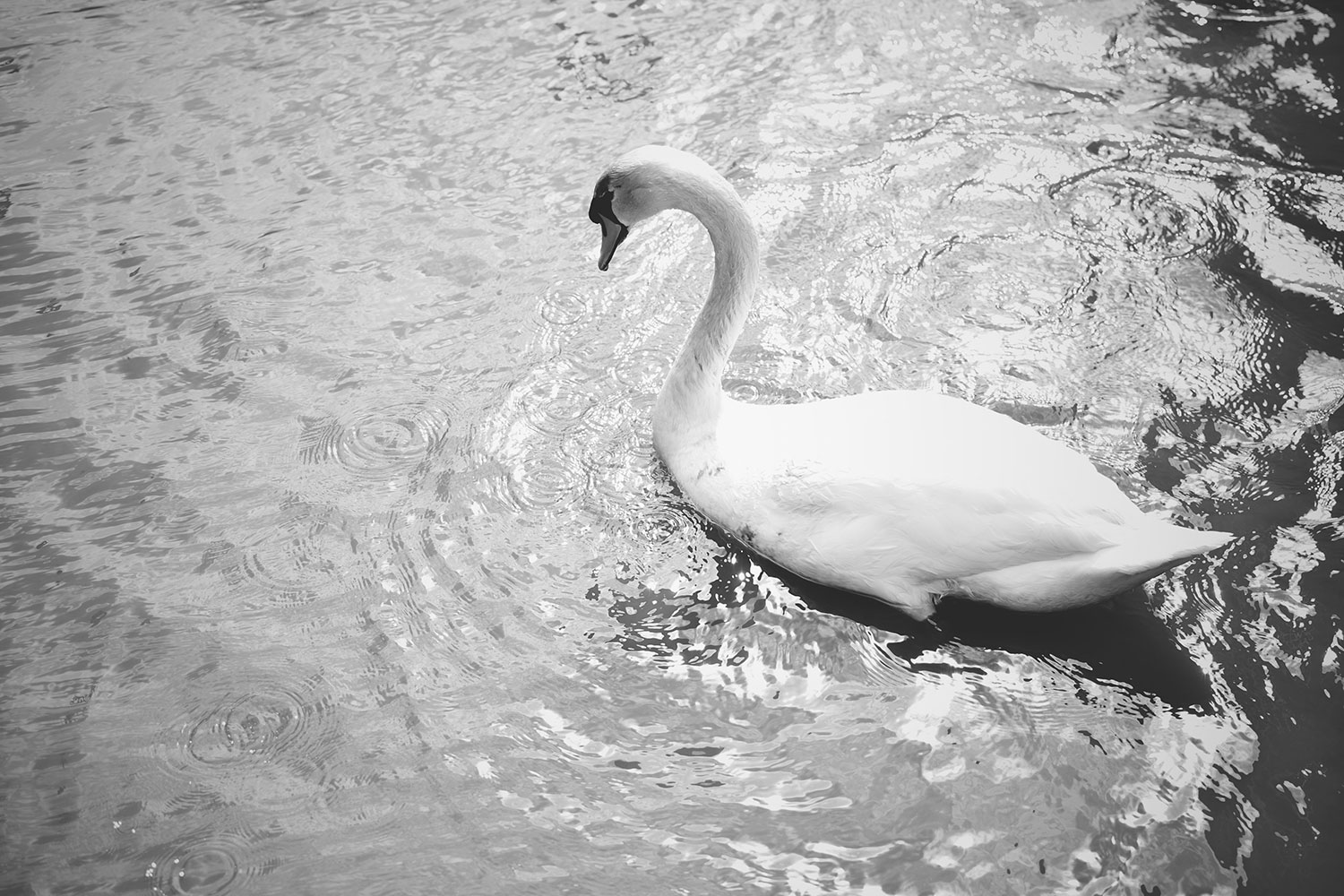 Our Day Out at the Slimbridge Wetland Centre, Gloucestershire - Swan swimming on the lake